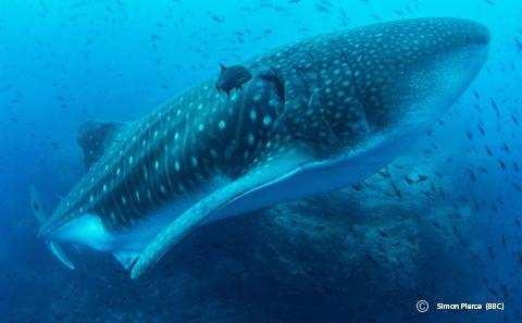 Whale shark swimming off the Galapagos