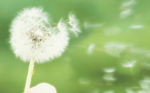 Dandelion blowing in the wind.