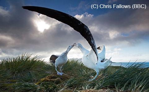 Wandering Albatross in South Georgia (copyright BBC)
