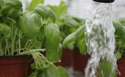 The project aims to reduce water used to produce herb crops