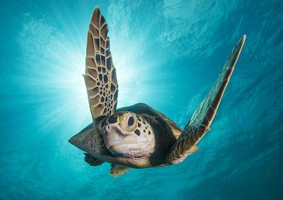 Green turtle swimming - Copyright BBC