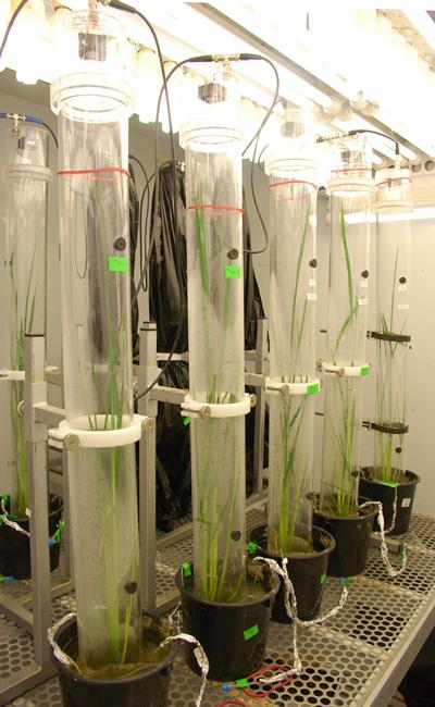 Rice plant labelled with 13CO2