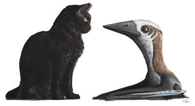 Late Cretaceous azhdarchoid specimen, compared to a house cat. Credit: M.Witton