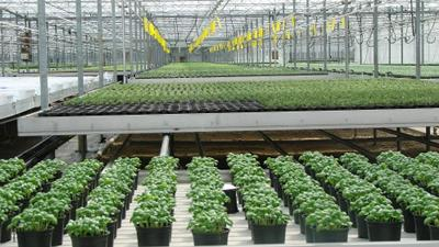 Glasshouse herb crop production