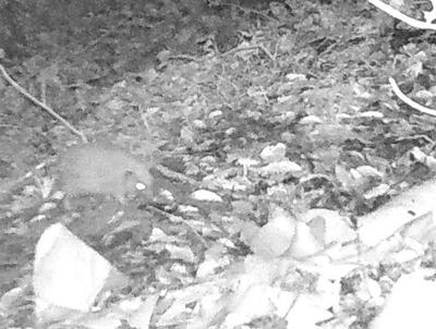 Hedgehog caught on camera on campus