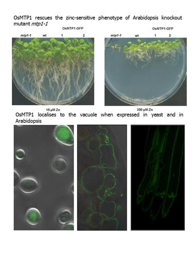 OsMTP1 is a Zinc transporter protecting against Zn toxicity and is localised at the vacuole