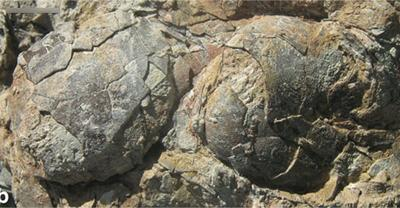 Two fossilised enantiornithine eggs.