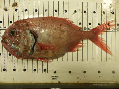 Orange roughy (Hoplostethus atlanticus) deep water fish used for metabolic work