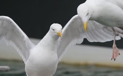 European Herring Gulls