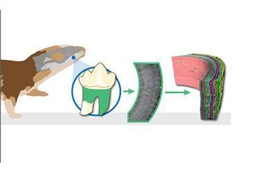 Scientists count fossilised growth rings in teeth like tree rings