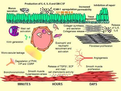 Fig 2: Potential actions of tryptase following release from human mast cells.