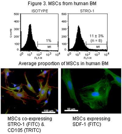 MSCs from human BM