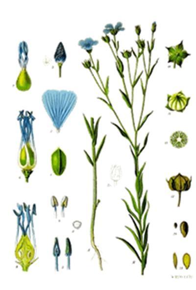 Linum usitatissimum (Flax/Linseed)