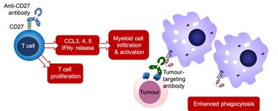 Tumour cell is coated by a tumour-targeting antibody