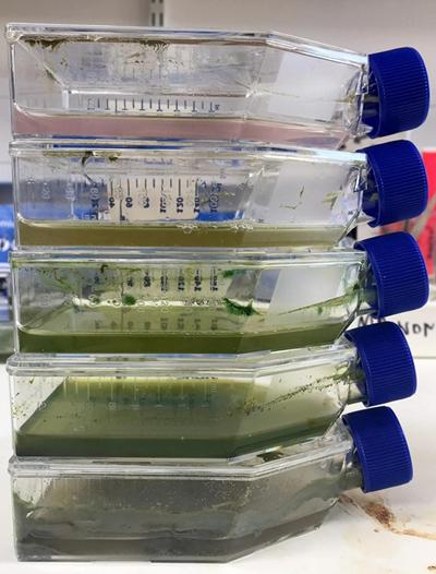 Enrichment microbial cultures from a mine site