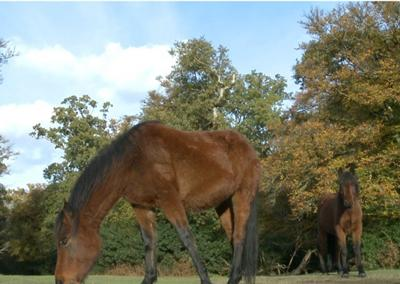 Native ponies have grazed in the New Forest for thousands of years