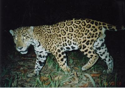A jaguar photographed by a camera trap