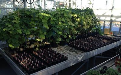 Lablab (hyacinth bean)