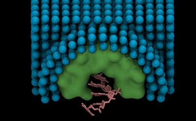A single stranded DNA molecule (pink) embedded within a nanopore (green) in a membrane mimetic bilayer (blue). Guy et al, Biophys J, 2012