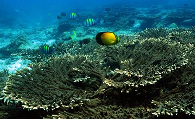 Corals and their symbiotic algae in the Arabian Gulf are adapted to survive  extreme  temperature and salinity level