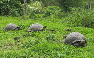Wild tortoises on the Island of Santa Cruz