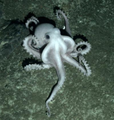 Unidentified pale octopus on seafloor