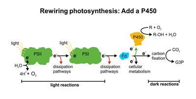 Rewiring photosyntesis