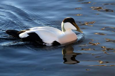 A male common eider © Greg Schechter (CC BY 2.0)