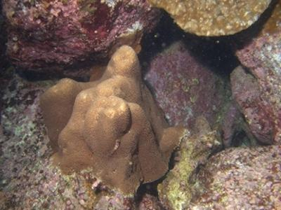 The coral species Gardineroseris planulata was thought to have gone extinct during the 1997-98 El Niño event, but was rediscovered by the project's recent diving expedition conducted in September 2005