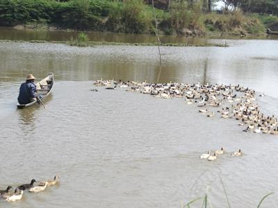 Ducks grazing on molluscs at Moeyungyi Wetland