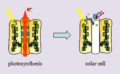 Photosynthesis and solar cells