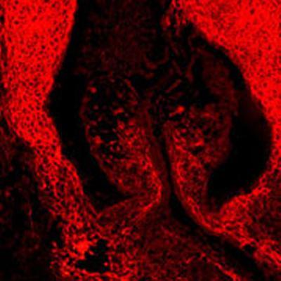 Aorta valve, human embryo