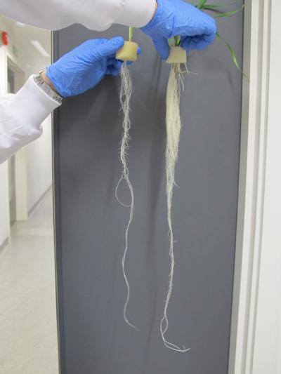 The effect of zinc-deficient conditions on root growth.  Left plant shows stunted root phenotype under zinc-deficient conditions. Right plant grown under control conditions.