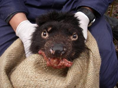 Credit: Save the Tasmanian Devil Program