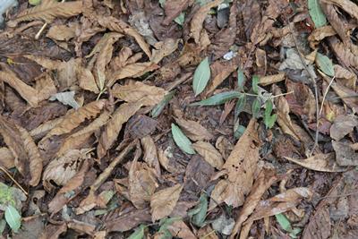 The Autumn leaf fall