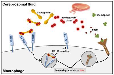 Haemoglobin scavenging