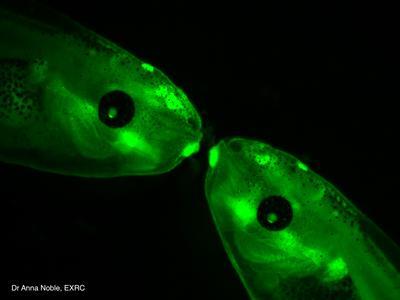 Transgenic Xenopus tadpoles