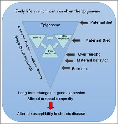 Schematic showing the influence of the environment on the epigenome