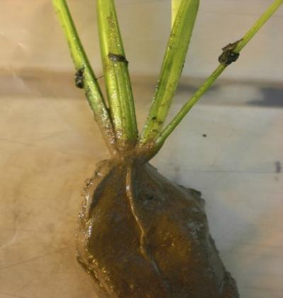 Rhizosphere of rice plants