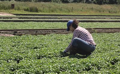 PhD student Nikol Voutsina assessing new watercress material in Dorset