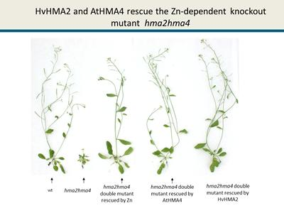 HvHMA2 and AtHMA4 rescue the Zn-dependent phenotype of knockout mutant  hma2hma4