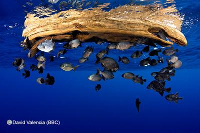 Fish sheltering under flotsam. (C) David Valencia (BBC)
