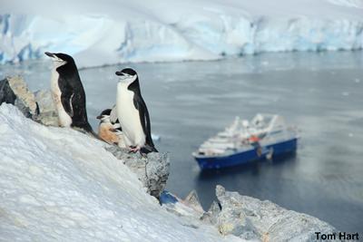 Chinstrap Penguins