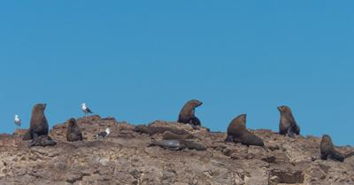 Cape fur seals on a rocky island in Algoa Bay, South Africa.