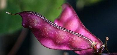 Purple pods of Lablab (hyacinth bean)