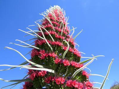 Echium wildpretii subsp. wildpretii (Teide National Park, Tenerife)