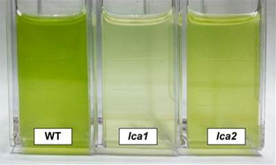 High and Low Chlorophyll Algal Strains