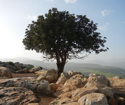 Tree in drylands