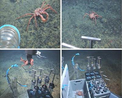 Sampling of king crab Paralomis birsteini  using ROV Isis in waters off the Western Antarctic Peninsula (JC 166, January 2007)