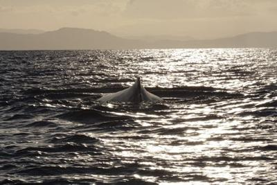 A humpback whale swimming in the ocean